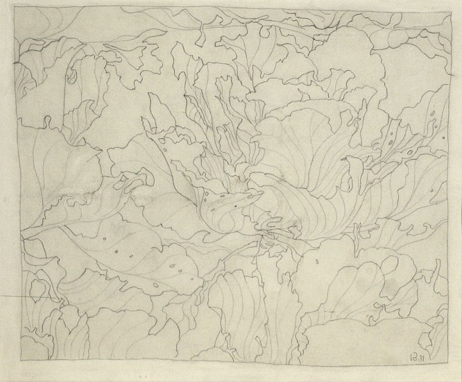 Harold Balazs, Cabbage Sketch 1981, graphite on paper